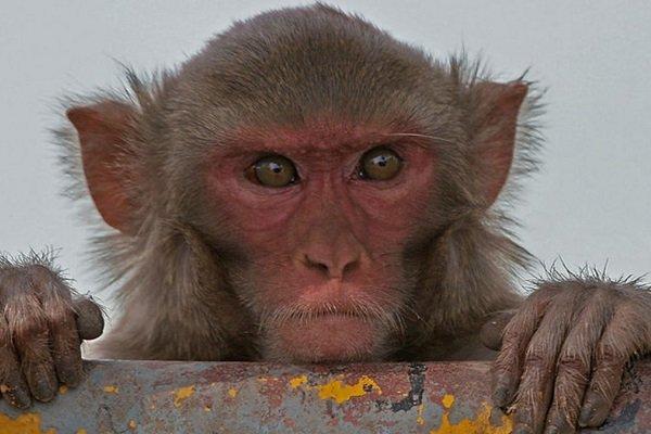 Çinliler maymunlara insan beyninden gen aktardı