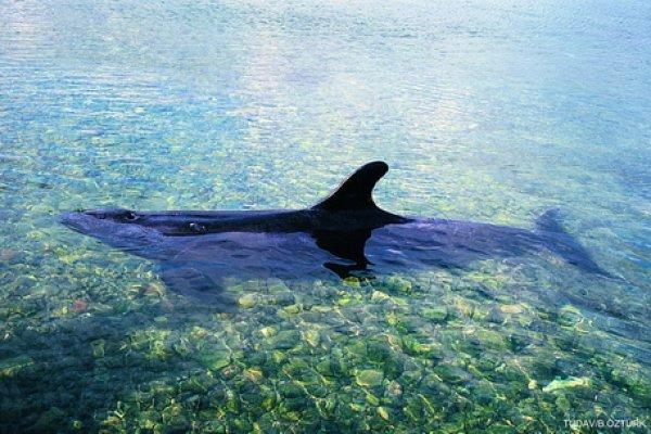 Gökçeada'da dev vatoz, Kuzey Ege'de katil balina...