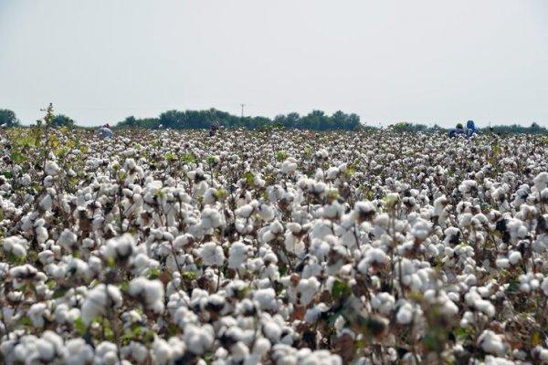 Pakistan'ın pamuk üretiminde yüzde 18 artış bekleniyor