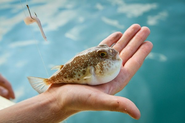 Balon balığı yakalayana para verilecek