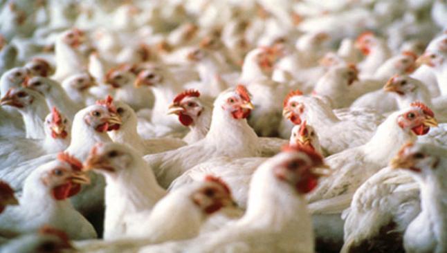Kuzey Irak, Türkiye'den tavuk ithalatını durdurdu