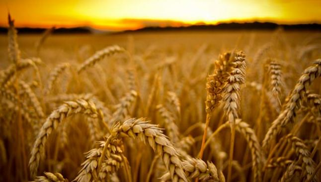 Dünya buğday stokları artıyor