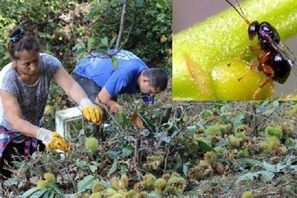 Bursa'da katil arı paniği