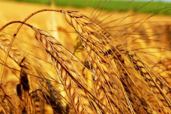 Emtia yatırımcısı ilk yarıda buğdayla kazandı