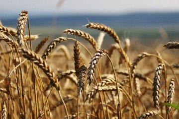 HEKTAŞ, Türkiye'nin ilk tescilli siyez buğdaylarını üretecek