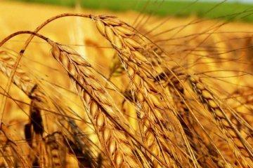 1,4 milyar liralık buğday israf ediliyor